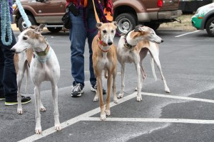 The greyhounds cometh with fancy yarn leashes and necklaces.