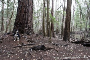 McGrady in front of the largest Loblolly Pine in the Park.  We were lucky to have a Park Volunteer lead us to this site.