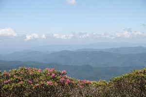 Rhodos in Bloom on Roan Highlands!